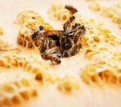 رولز-رويس تربي النحل وتنج العسل